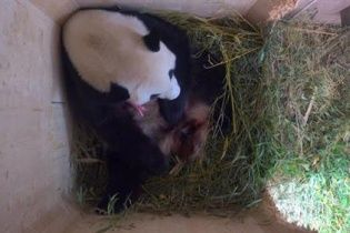 У віденському зоопарку народилася панда
