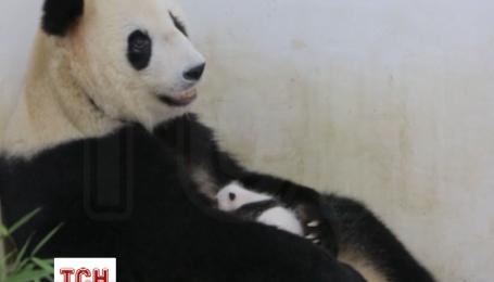 У Шанхайському зоопарку відвідувачам показали недавно народжене дитинча панди