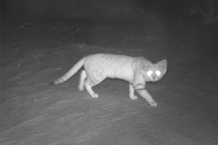 Рідкісний і потайний. Уперше за 10 років в Еміратах побачили арабського піщаного кота