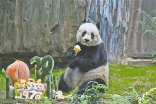 Ліки від тиску та солодощі. Як святкує день народження найстаріша панда у світі