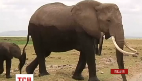 Всесвітній день слонів у Танзанії зустрічають з червоним перцем