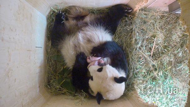 З'явилися фотографії новонароджених панд-двійняток у віденському зоопарку