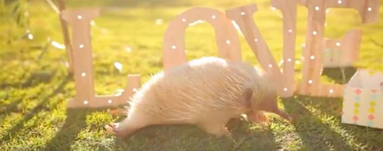 В Австралії маленькій єхидні-альбіносу влаштували вечірку у день народження