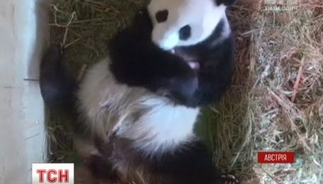 У віденському зоопарку панда приховала від ветеринарів народження другого малюка
