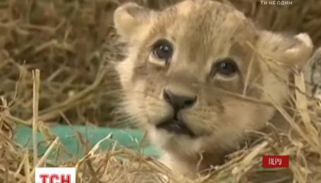В перуанском зоопарке впервые за 20 лет родился редкий львенок