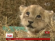У перуанському зоопарку  вперше за 20 років народилося рідкісне левеня