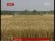 Українські аграрії вже 4 рік поспіль збирають рекордні обсяги зерна