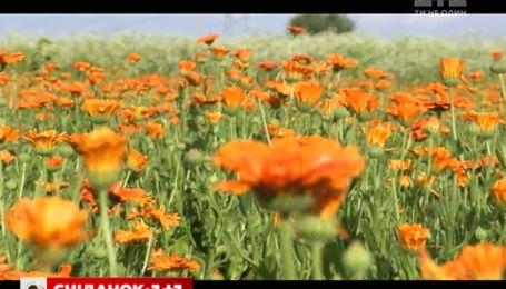 Мій путівник: у Кам'янці-Подільському вирощують лікарські рослини