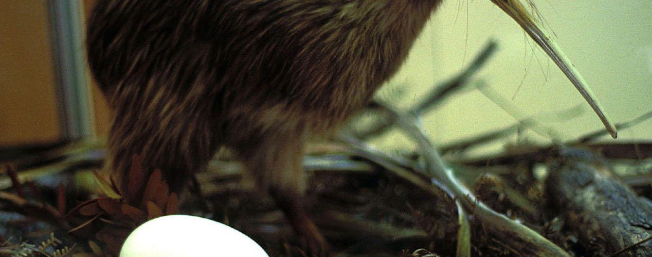 """Пташеня ківі влаштувало енергійний """"танець"""" в новозеландському заповіднику"""