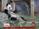 У зоопарку Атланти випадково виявили вагітність 19-річної панди