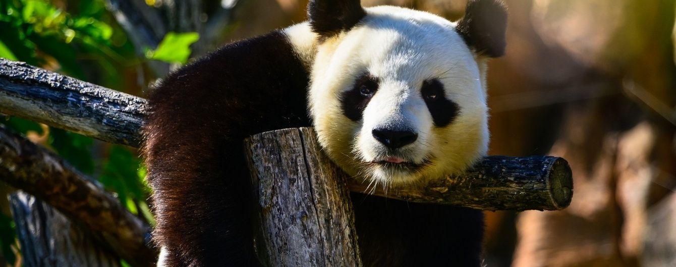 Трюки екстремала на шаленій висоті та панда, яка котиться з гори. Тренди Мережі