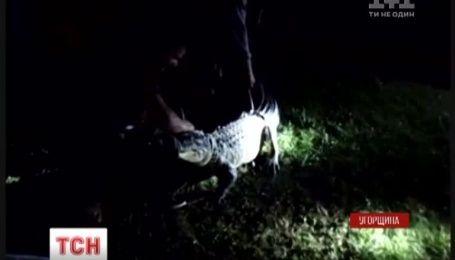 В Угорщині затримали алігатора, що прогулювався вздовж шосе