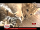 Незвичайна дружба: у японському зоопарку потоваришували два хижака