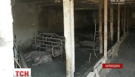 Через африканську чуму свиней в Харкові оголошено карантин