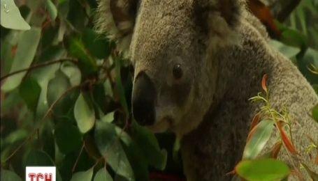 Зоопарк американського міста Майамі показав свою першу коалу