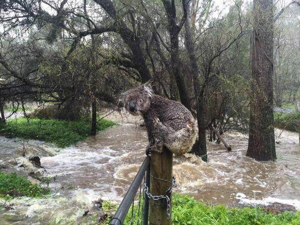 Врятована під час жахливої повені в Австралії коала розчулила юзерів соцмереж