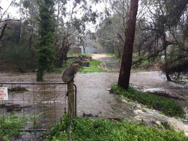 Спасенная во время ужасного наводнения в Австралии коала растрогала юзеров соцсетей