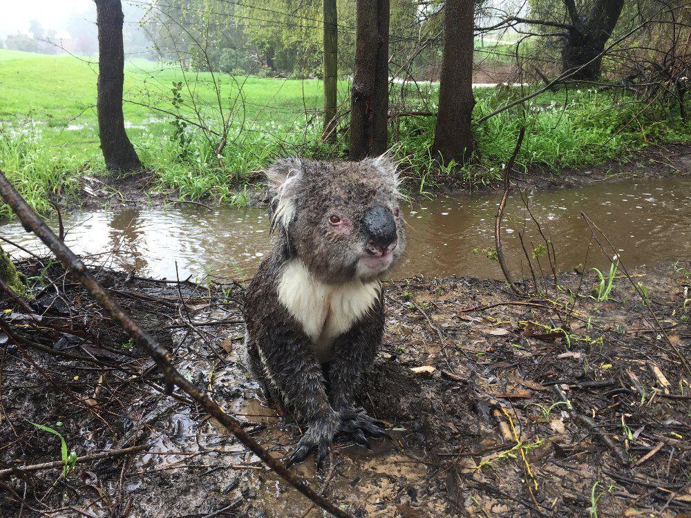 В Австралії коалу врятували від повені _3