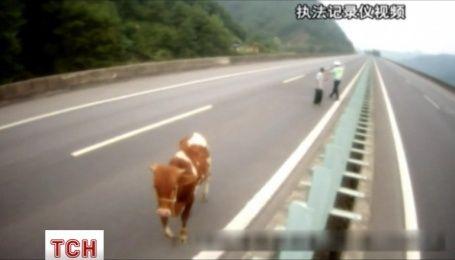 В Китае теленок спокойно гулял по скоростному шоссе, чем разозлил полицейского