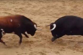 В Іспанії двоє биків убили один одного єдиним ударом