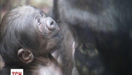 Зоопарк города Франкфурт впервые показал новорожденного горилленка