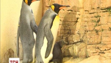 Венский зоопарк показал посетителям новорожденного императорского пингвиненка