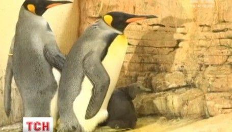 Пополнение в венском зоопарке: на публику решился выйти маленький пингвиненок