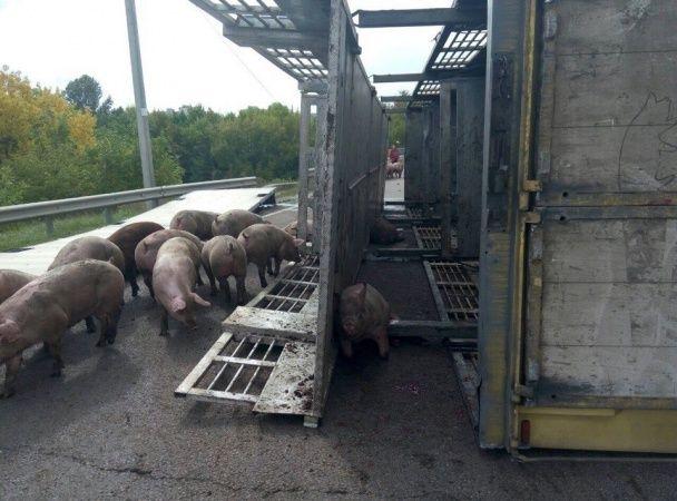 Під Харковом перекинулася фура зі сотнею свиней