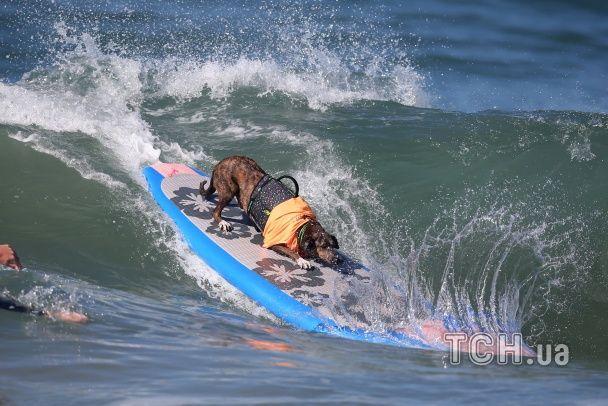 Чотирилапі підкорювачі хвиль. У Каліфорнії собаки позмагались у серфінгу