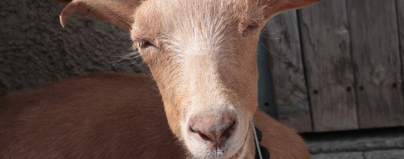 На Тернопольщине выбрали самую красивую козу