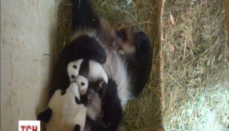 Венский зоопарк показал трогательное видео с новорожденной двойней панд