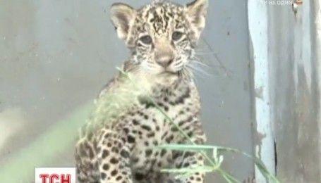 В зоопарке в Пекине представили публике уникальных леопардов