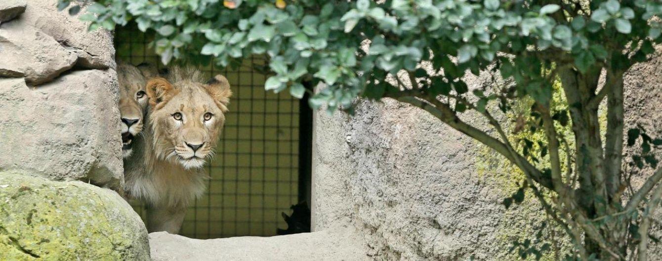У Німеччині двоє левів втекли із зоопарку