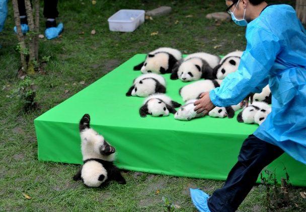 Самые яркие фото дня: забавное падение детеныша панды, фестиваль ретроавтомобилей в Киеве