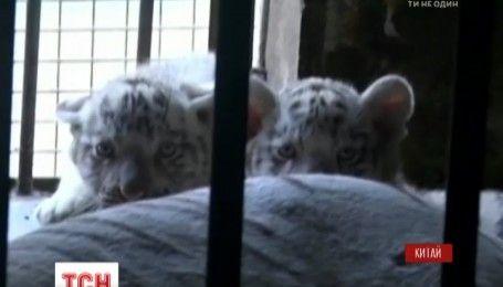 Китайский зоопарк впервые показал посетителям новорожденных белых тигрят