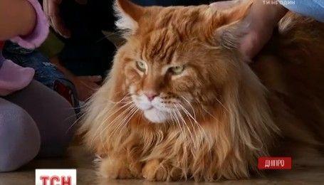 По-мужски почтенный и нежный отец: в самого большого в Украине кота 9 кошек и 30 котят