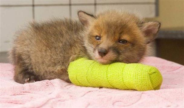 Очаровательные котята, белочки и ослики, которым ветеринары наложили гипс
