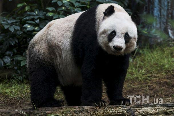 У Гонконзі приспали найстарішу панду в світі