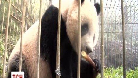 В Китае после реабилитации выпустили в дикую природу двух панд