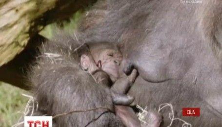 В зоопарке американского Сан-Диего появилась на свет маленькая горилла