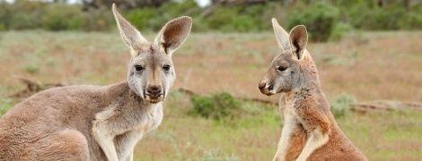 В Австралии прохожий нашел мертвого кенгуру с бутылкой алкоголя в лапах