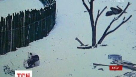 Первая встреча гигантской панды со снегом развеселила персонал китайского зооцентра
