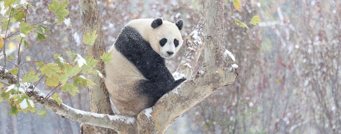 Гігантська панда Ю-Ю кумедно відреагувала на перший у своєму житті сніг