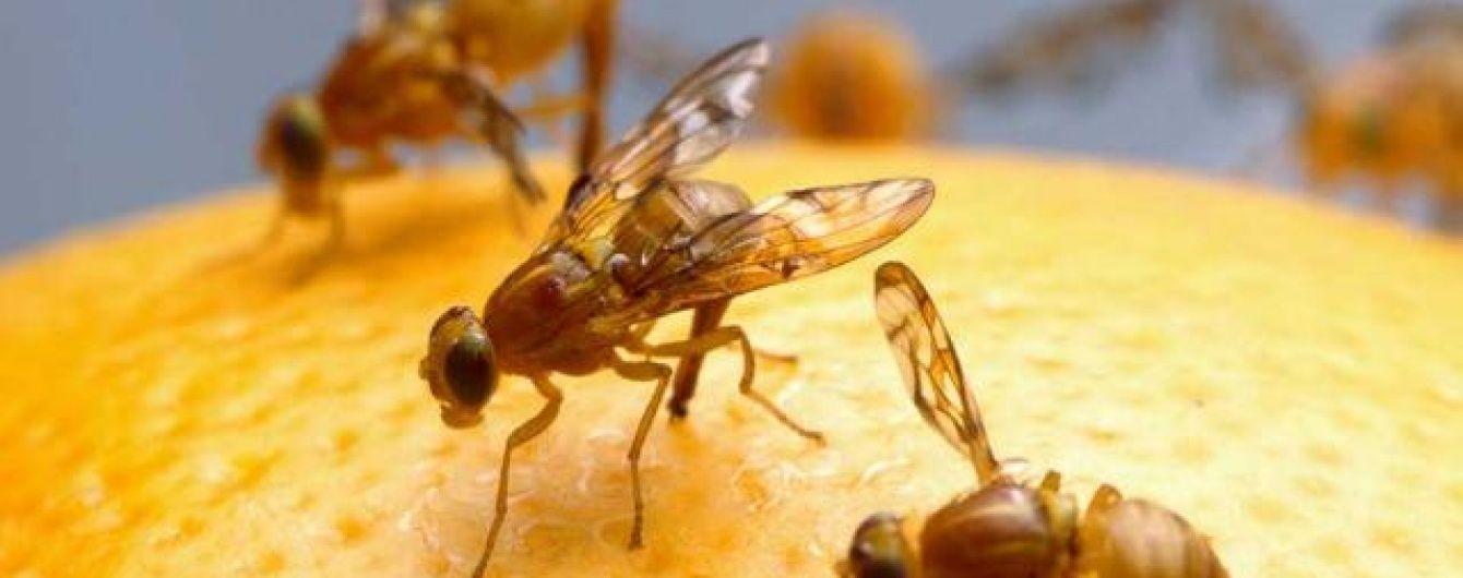 Турки везли на столи українців заражені небезпечною мухою мандарини