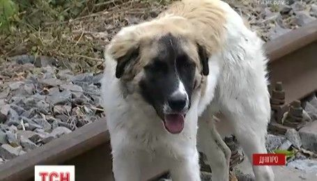 Днепровский Хатико: заброшенный пес несколько дней сидит на рельсах и ждет хозяина-убийцу