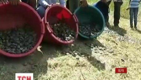 У Перу випустили на волю 17 тисяч черепашенят