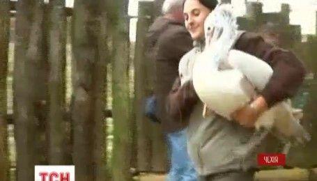 В Чехии пеликаны устроили игру в прятки с работниками зоопарка