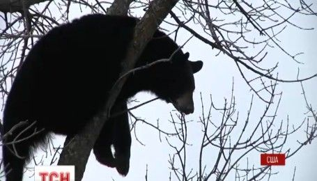 Трусливый медведь стал звездой американского города Дулут
