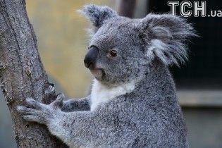 Австралиец в своем авто нашел дикую коалу, которая проехала с ним 16 километров