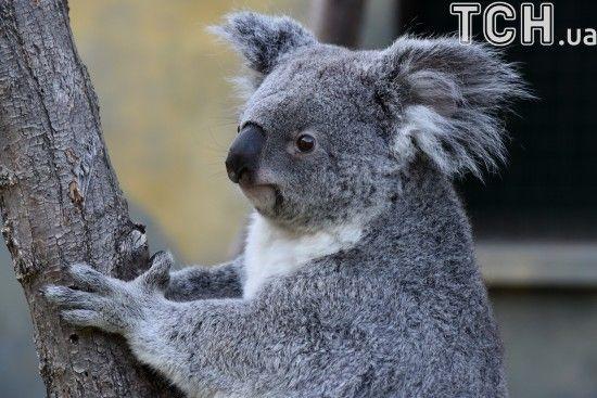 Австралієць у своєму авто знайшов дику коалу, яка проїхала з ним 16 кілометрів